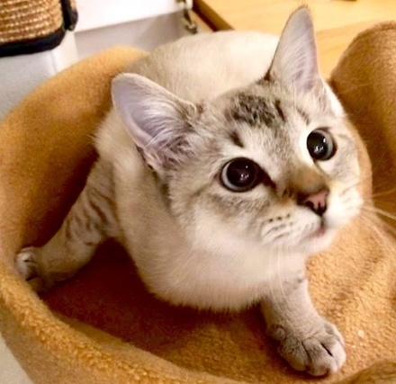 [picture of Princess Anna, a Siamese lynx point\ cat]