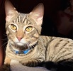 A picture of #ET03272: Tabby Jack a Domestic Short Hair gray tabby