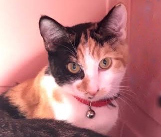 [picture of Calico Calista, a Domestic Short Hair calico\ cat]