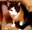 A picture of #ET03274: Sparkly a Domestic Short Hair black/white