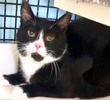 A picture of #ET03276: Moonshine a Domestic Short Hair black/white