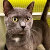 A picture of #ET03277: Ojoe a Russian Blue Mix blue