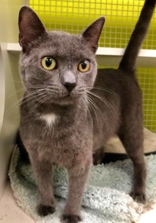 [another picture of Ojoe, a Russian Blue Mix blue\ cat]