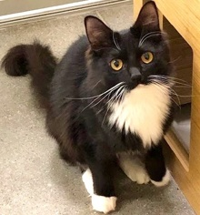 [another picture of Caroll, a Domestic Medium Hair black/white\ cat]