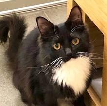 [picture of Caroll, a Domestic Medium Hair black/white\ cat]