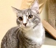 A picture of #ET03279: Claus a Domestic Short Hair silver