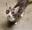 A picture of #ET03280: Tinselton a Domestic Short Hair silver/white