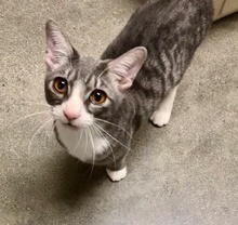 [picture of Tinselton, a Domestic Short Hair silver/white\ cat]