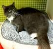 [picture of Mavis, a Ragdoll Mix blue/white cat]