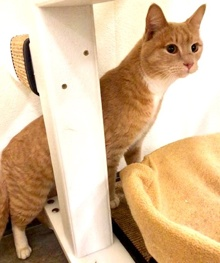 [another picture of Randolph, a Domestic Short Hair ginger/white\ cat]