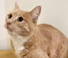 [picture of Randolph, a Domestic Short Hair ginger/white\ cat]