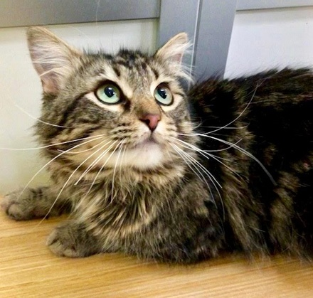 [picture of Gilly, a Maine Coon-x gray/black marble\ cat]