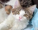 A picture of #ET03284: Brendon a Domestic Medium Hair brown tabby/white