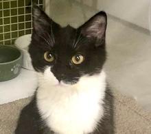 [picture of Brisco, a Domestic Medium Hair black/white\ cat]