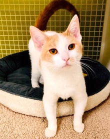 [another picture of Burt, a Domestic Short Hair white/orange\ cat]