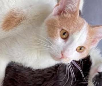[picture of Burt, a Domestic Short Hair white/orange\ cat]