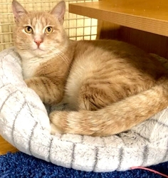 [picture of Jimmy G, a Domestic Short Hair ginger/white cat]