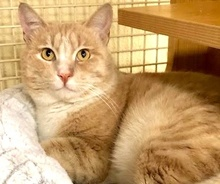 [picture of Jimmy G, a Domestic Short Hair ginger/white\ cat]