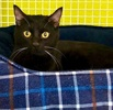 A picture of #ET03288: Julie Black a Domestic Short Hair black