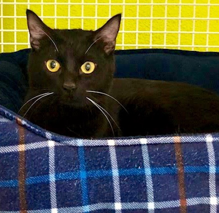 [picture of Julie Black, a Domestic Short Hair black\ cat]