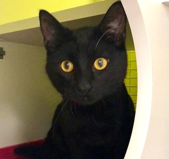 [picture of Sammy Black, a Domestic Short Hair black\ cat]