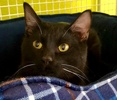 A picture of #ET03290: Jack Black a Domestic Short Hair black