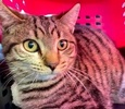 A picture of #ET03293: Jayjay a Domestic Medium Hair stripped tabby