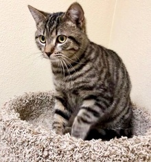 [another picture of Jayjay, a Domestic Medium Hair stripped tabby\ cat]