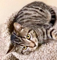 [picture of Jayjay, a Domestic Medium Hair stripped tabby\ cat]
