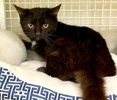 A picture of #ET03294: Precious a Domestic Medium Hair black tabby