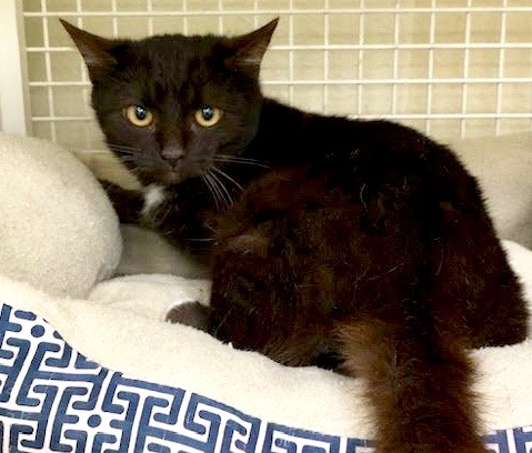 [picture of Precious, a Domestic Medium Hair black\ cat]