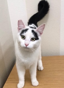 [another picture of Tulip, a Turkish Van Mix white/black\ cat]