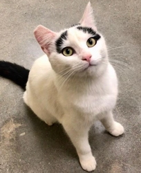 [picture of Tulip, a Turkish Van Mix white/black cat]