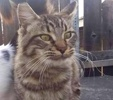 A picture of #ET03296: Tobby a Maine Coon-x gray