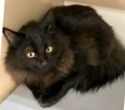 A picture of #ET03297: Binksy a Maine Coon-x black