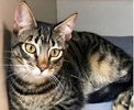 A picture of #ET03298: Duncan a Domestic Short Hair gray tabby