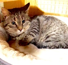 [another picture of Ms Marie, a Domestic Short Hair gray tabby\ cat]