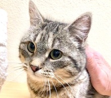 [picture of Ms Marie, a Domestic Short Hair gray tabby\ cat]