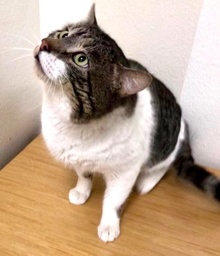 [another picture of Big Tony, a Domestic Short Hair brown tabby/white\ cat]
