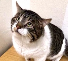 [picture of Big Tony, a Domestic Short Hair brown tabby/white\ cat]