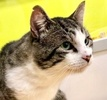 A picture of #ET03301: Flint a Domestic Short Hair gray tabby/white