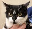 A picture of #ET03303: Bella B a Domestic Medium Hair black/white