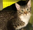 A picture of #ET03307: Evie a Maine Coon-x brown tabby/white