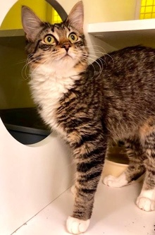 [another picture of Evie, a Maine Coon-x brown tabby/white\ cat]