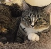 A picture of #ET03308: Annie a Maine Coon-x brown tabby/white