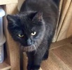 A picture of #ET03309: Banks a Maine Coon-x black