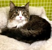 A picture of #ET03310: Natasha a Maine Coon-x brown tabby/white