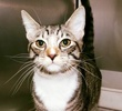 A picture of #ET03311: Noel a Domestic Short Hair silver tabby