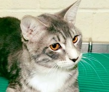 [picture of Yule, a Domestic Short Hair silver tabby\ cat]