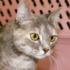 A picture of #ET03313: Metabel a Domestic Short Hair dilute tortie